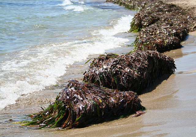 Knotted wrack