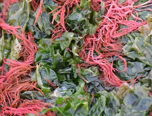 What is Dulse and Why Should it Be in Your Diet?
